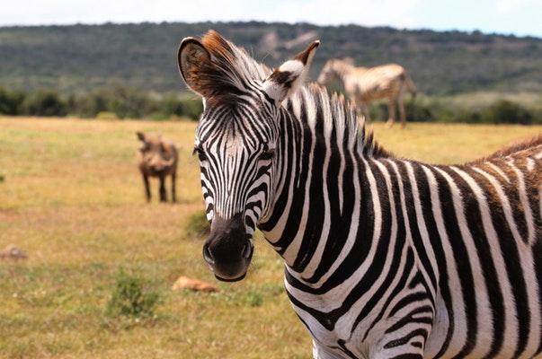 african safari with zebras