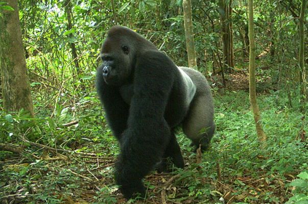 ape in okomu national park